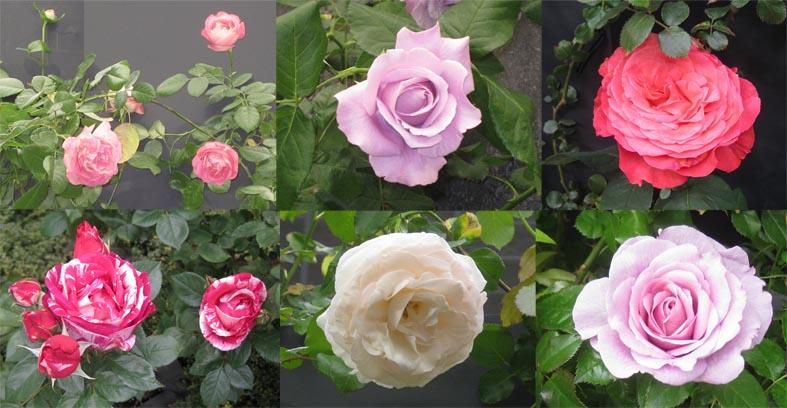 国際バラとガーデニングショウ2010_f0045132_1821401.jpg