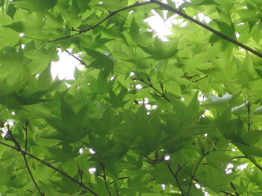 目に青葉・・軽井沢の新緑 ♪_f0236260_16573448.jpg