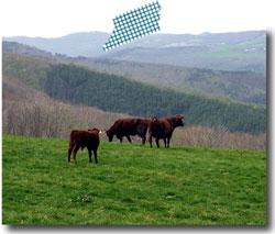 牛たちは山へ。(そしてちょっとだけ口蹄疫の話)_f0236291_1528628.jpg
