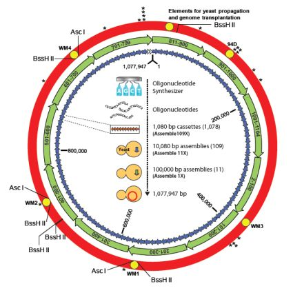 ゲノムを人造のものに置き換えられてできた「新種の細菌」_c0025115_19183218.jpg
