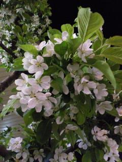 夜林檎_a0134394_21102070.jpg