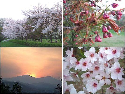 ちと仕事が忙しい・・八重桜はこれから_b0067302_23142182.jpg