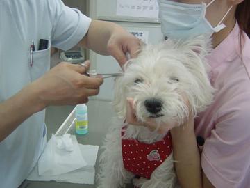 クララ♀ ワクチン注射!?_c0226202_732135.jpg