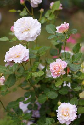 素敵なシュシュのバラ 咲きました!_c0165636_1457201.jpg