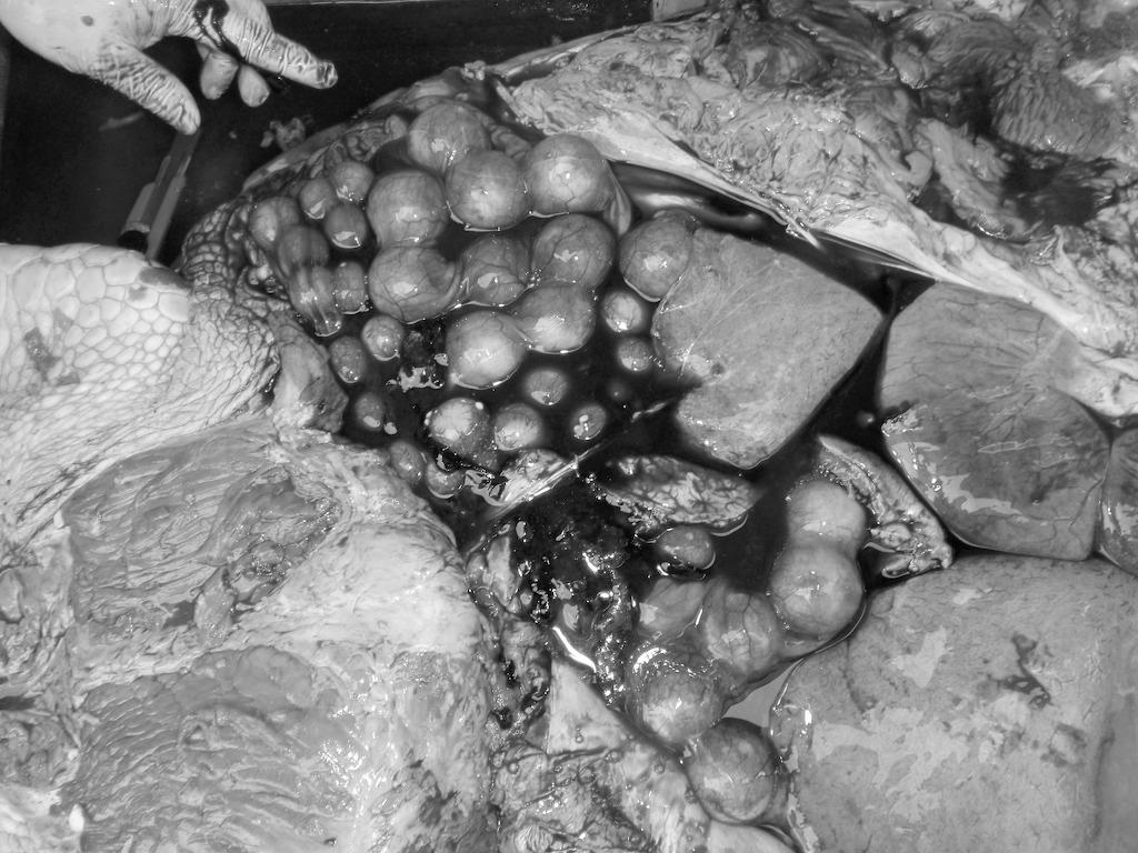 5/21 ウミガメ死亡個体調査_a0010095_20105482.jpg