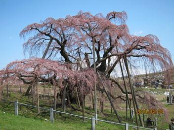 福島県三春町の三春滝桜と三春人形_a0165546_1749454.jpg