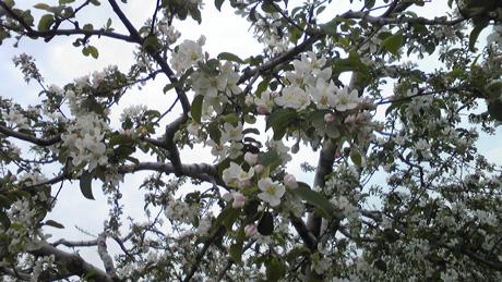 リンゴの花_c0225772_17421489.jpg