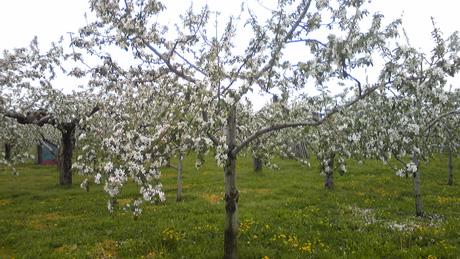 リンゴの花_c0225772_17423536.jpg