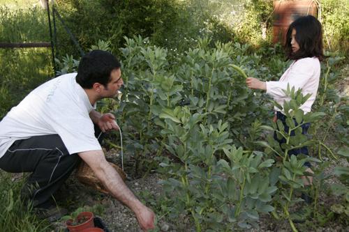 ソラマメの収穫~5月の畑_f0106597_17281451.jpg