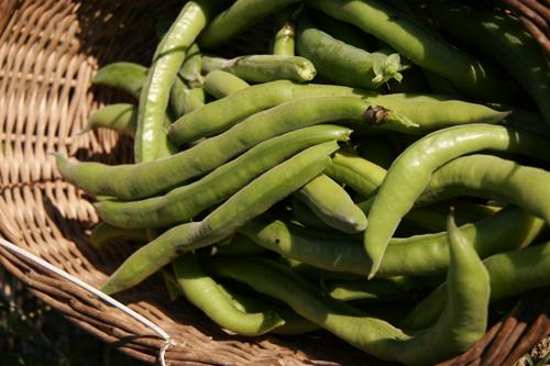 ソラマメの収穫~5月の畑_f0106597_17485325.jpg
