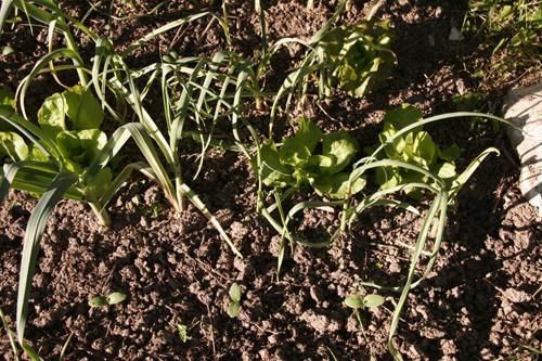 ソラマメの収穫~5月の畑_f0106597_17575551.jpg