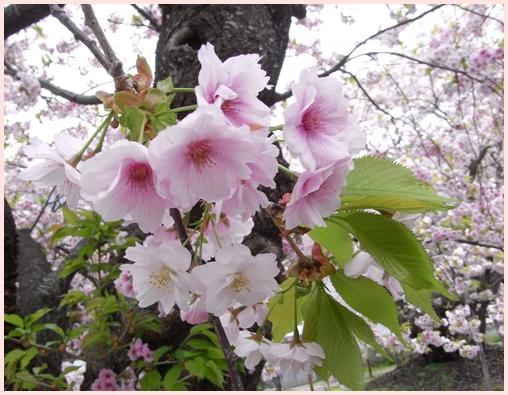 松前の桜_c0073015_22204919.jpg