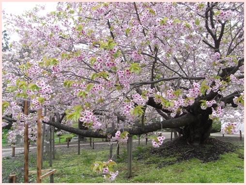 松前の桜_c0073015_22211018.jpg