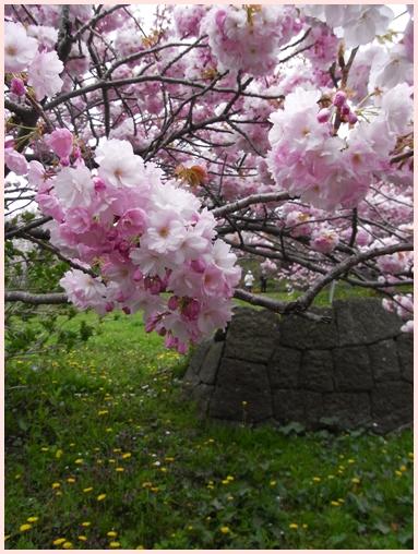 松前の桜_c0073015_22222330.jpg
