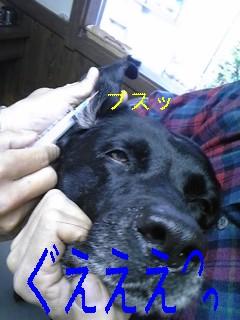 耳血腫_f0148927_1646895.jpg