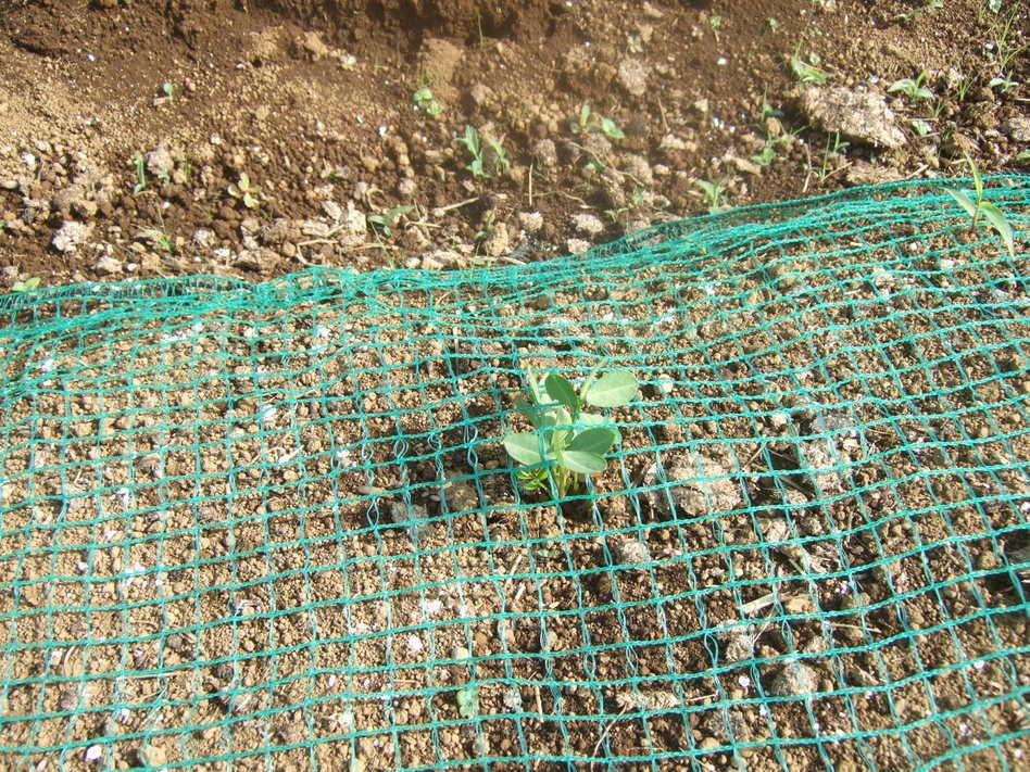 イチゴの盗難..継続中...野菜は成長....._b0137932_19181546.jpg