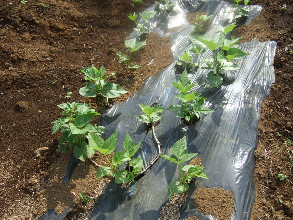 イチゴの盗難..継続中...野菜は成長....._b0137932_19184544.jpg