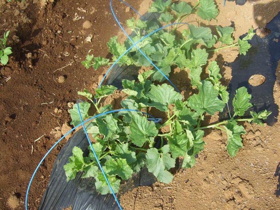 イチゴの盗難..継続中...野菜は成長....._b0137932_1920085.jpg