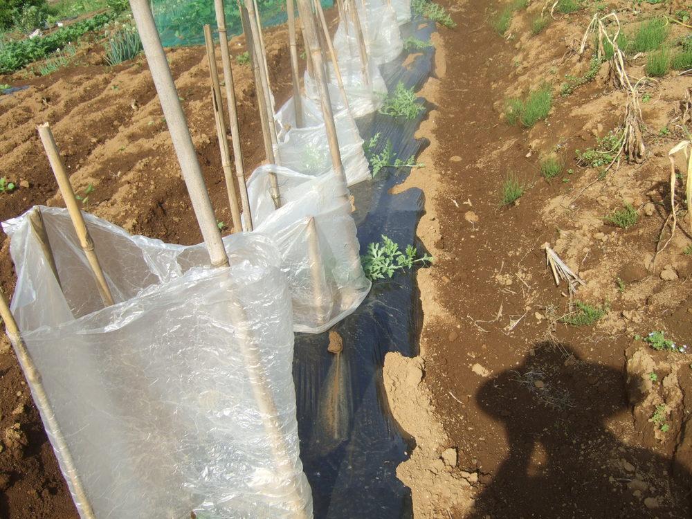 イチゴの盗難..継続中...野菜は成長....._b0137932_1920171.jpg