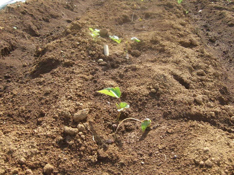 イチゴの盗難..継続中...野菜は成長....._b0137932_1925352.jpg