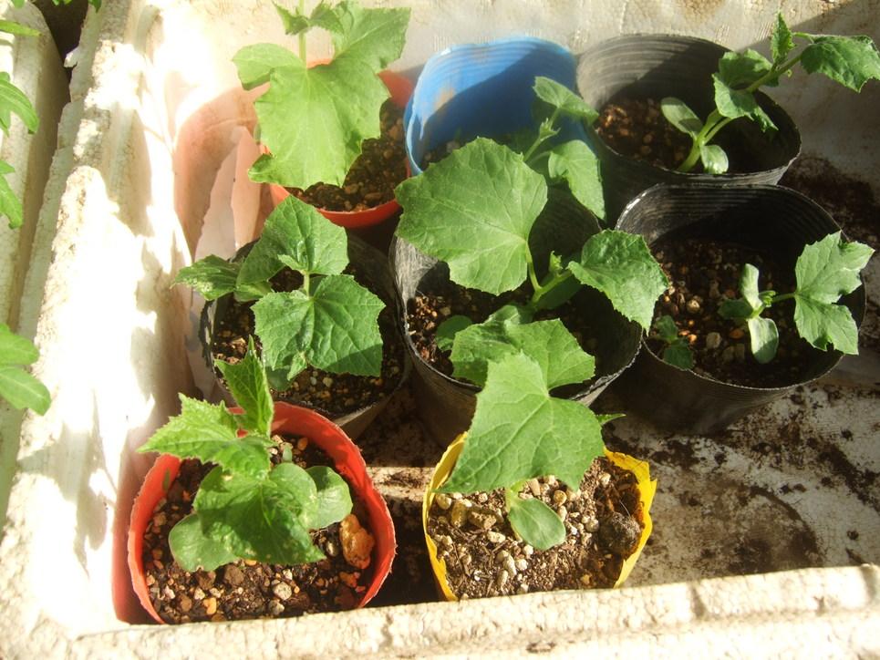 イチゴの盗難..継続中...野菜は成長....._b0137932_19343314.jpg