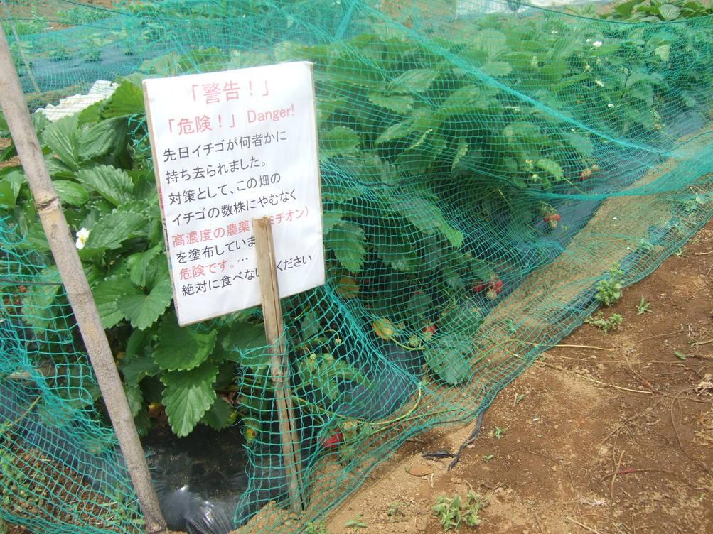 イチゴの盗難..継続中...野菜は成長....._b0137932_19465295.jpg