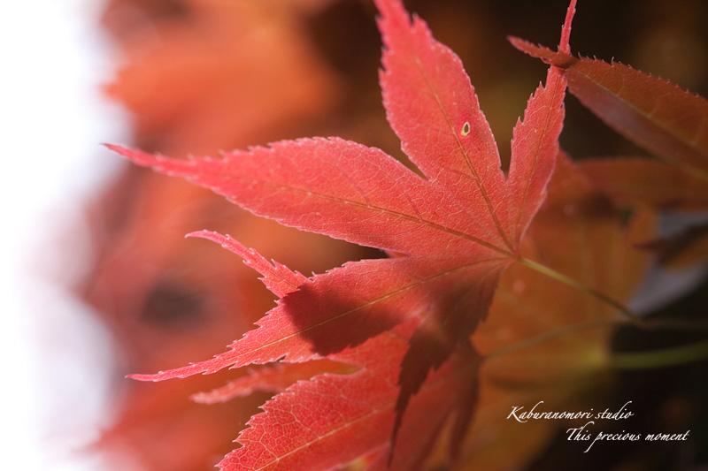 新緑の中一際目立つ赤いモミジ_c0137403_18252516.jpg