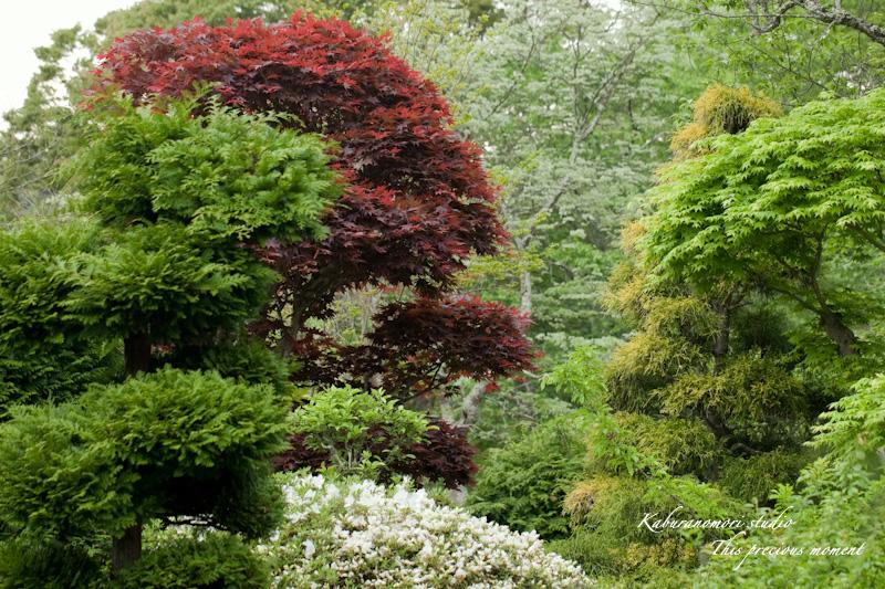 新緑の中一際目立つ赤いモミジ_c0137403_1833216.jpg