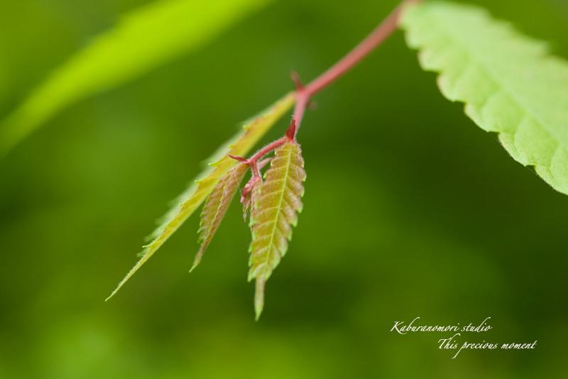 新緑の中一際目立つ赤いモミジ_c0137403_1835734.jpg