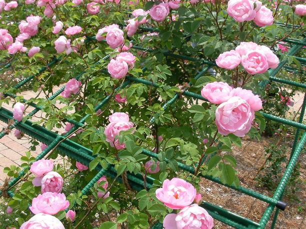 花菜ガーデン_d0164691_18492851.jpg