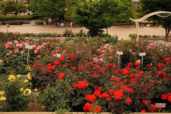 六角錐のばら花壇『緑町公園』.NO.1_a0140608_634248.jpg