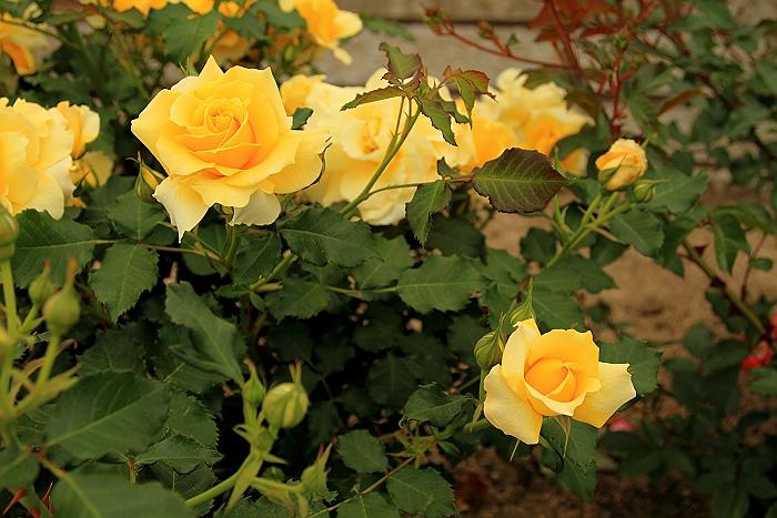 六角錐のばら花壇『緑町公園』.NO.1_a0140608_6351467.jpg