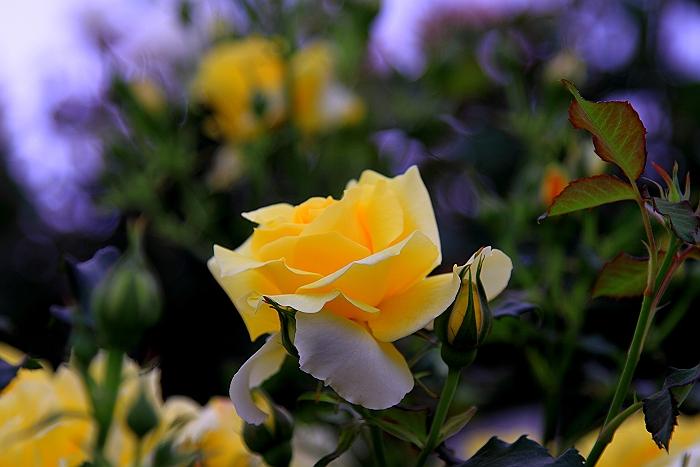 六角錐のばら花壇『緑町公園』.NO.1_a0140608_6363342.jpg