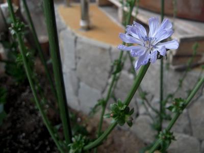ちこりの花が咲きました。_d0063218_107236.jpg