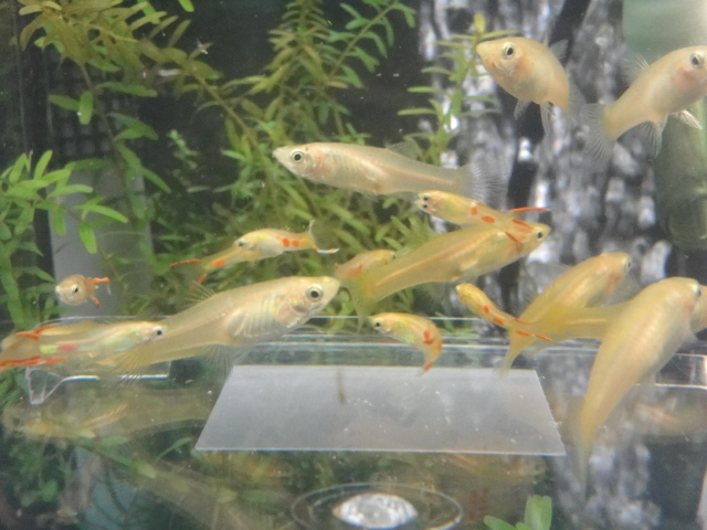 熱帯魚・金魚・水草_f0189122_12533895.jpg