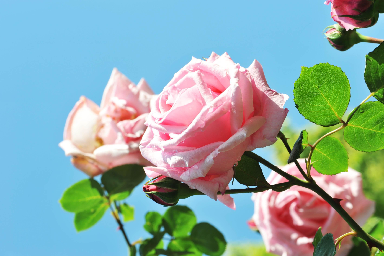 ピンクのバラ_e0157647_20544964.jpg