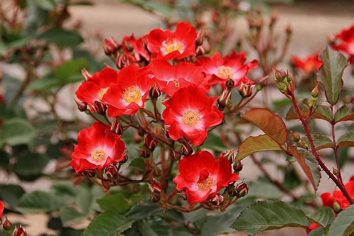 六角錐のばら花壇『緑町公園』.NO.2_a0140608_628235.jpg