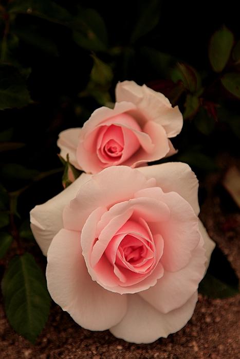 六角錐のばら花壇『緑町公園』.NO.2_a0140608_6303586.jpg
