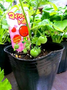 夏野菜と花のコンテナ_f0236311_7272389.jpg