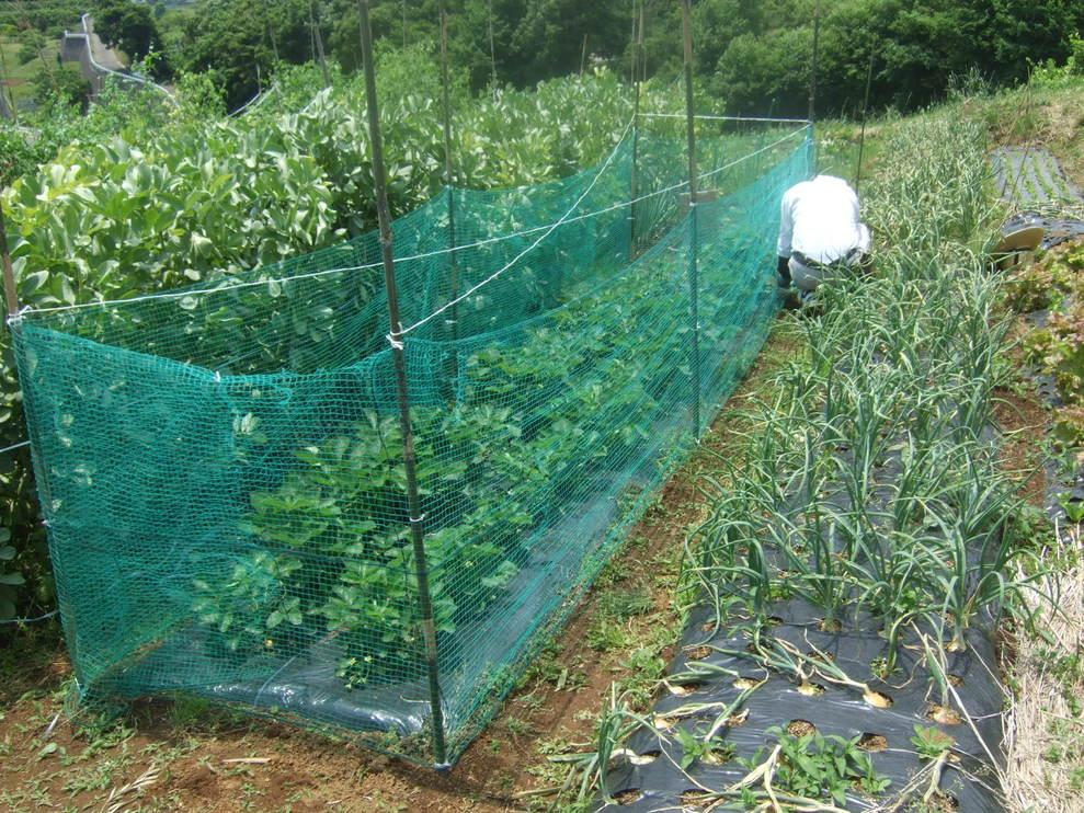 成長した野菜に支柱,,,,,ゲストも来園!_b0137932_21384247.jpg
