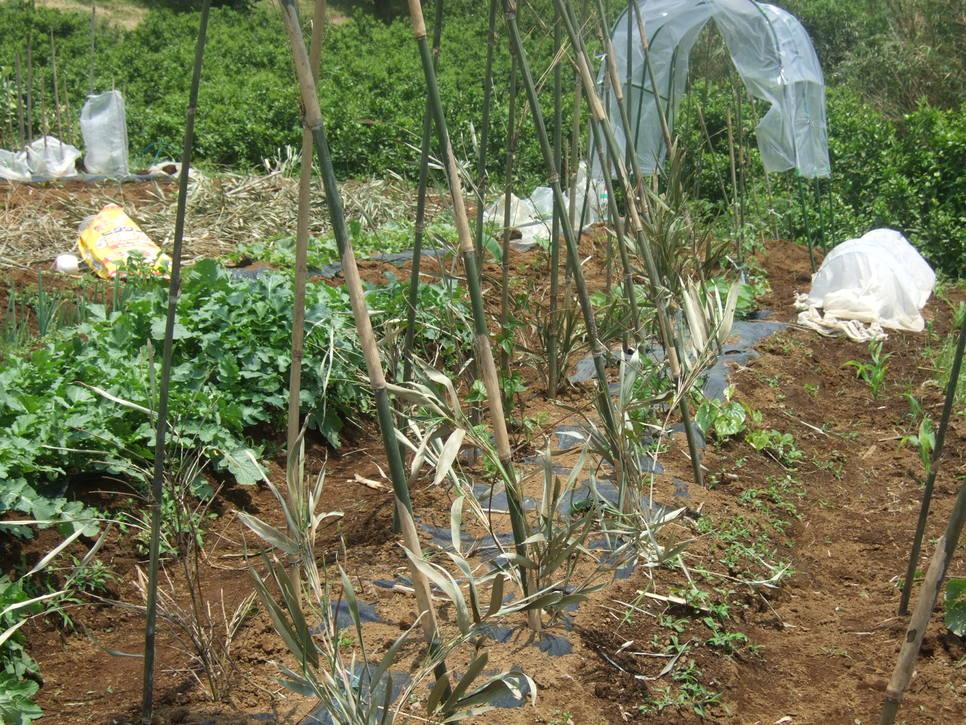 成長した野菜に支柱,,,,,ゲストも来園!_b0137932_2140784.jpg
