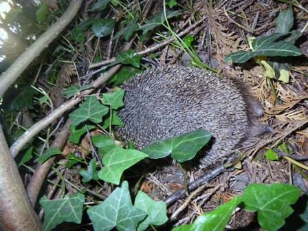 昨日ハリネズミWe saw a hedgehogを見ました _a0138438_0135252.jpg