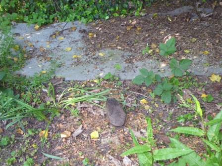昨日ハリネズミWe saw a hedgehogを見ました _a0138438_01703.jpg
