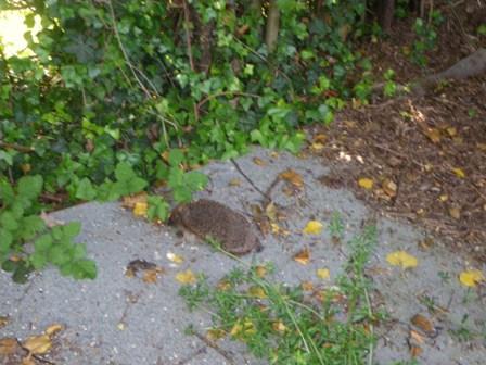 昨日ハリネズミWe saw a hedgehogを見ました _a0138438_0175672.jpg