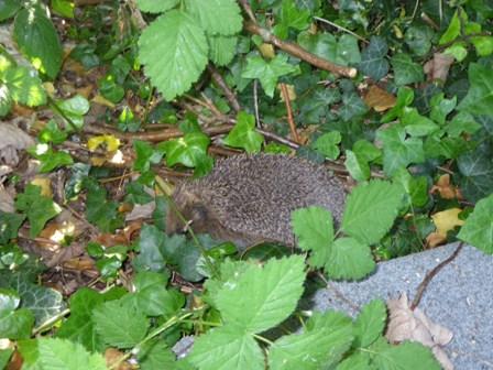 昨日ハリネズミWe saw a hedgehogを見ました _a0138438_0181071.jpg