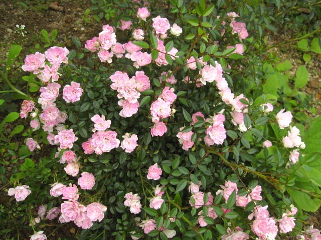 ピンクの花々_e0181373_218402.jpg