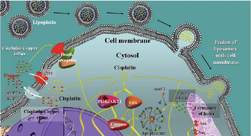 非小細胞肺癌におけるリポプラチンの有用性_e0156318_14434294.jpg