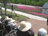 根小屋の芝桜_e0142373_1484563.jpg