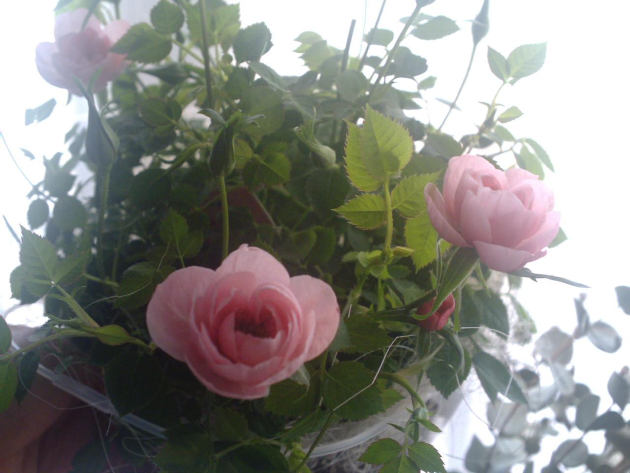 Ayura*Rose 4周年*_d0085018_0175963.jpg