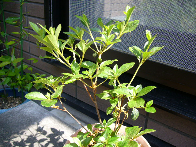 四季咲きミツバツツジ_d0000324_1225225.jpg
